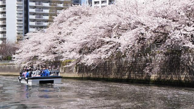 東京目黒川お花見クルーズの画像