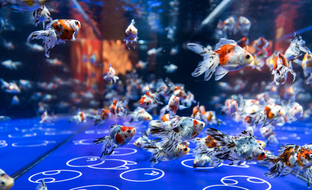 sumida-aquarium-kingyo2019_02.jpg