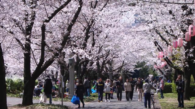 辰巳の森緑道公園さくらまつりの画像